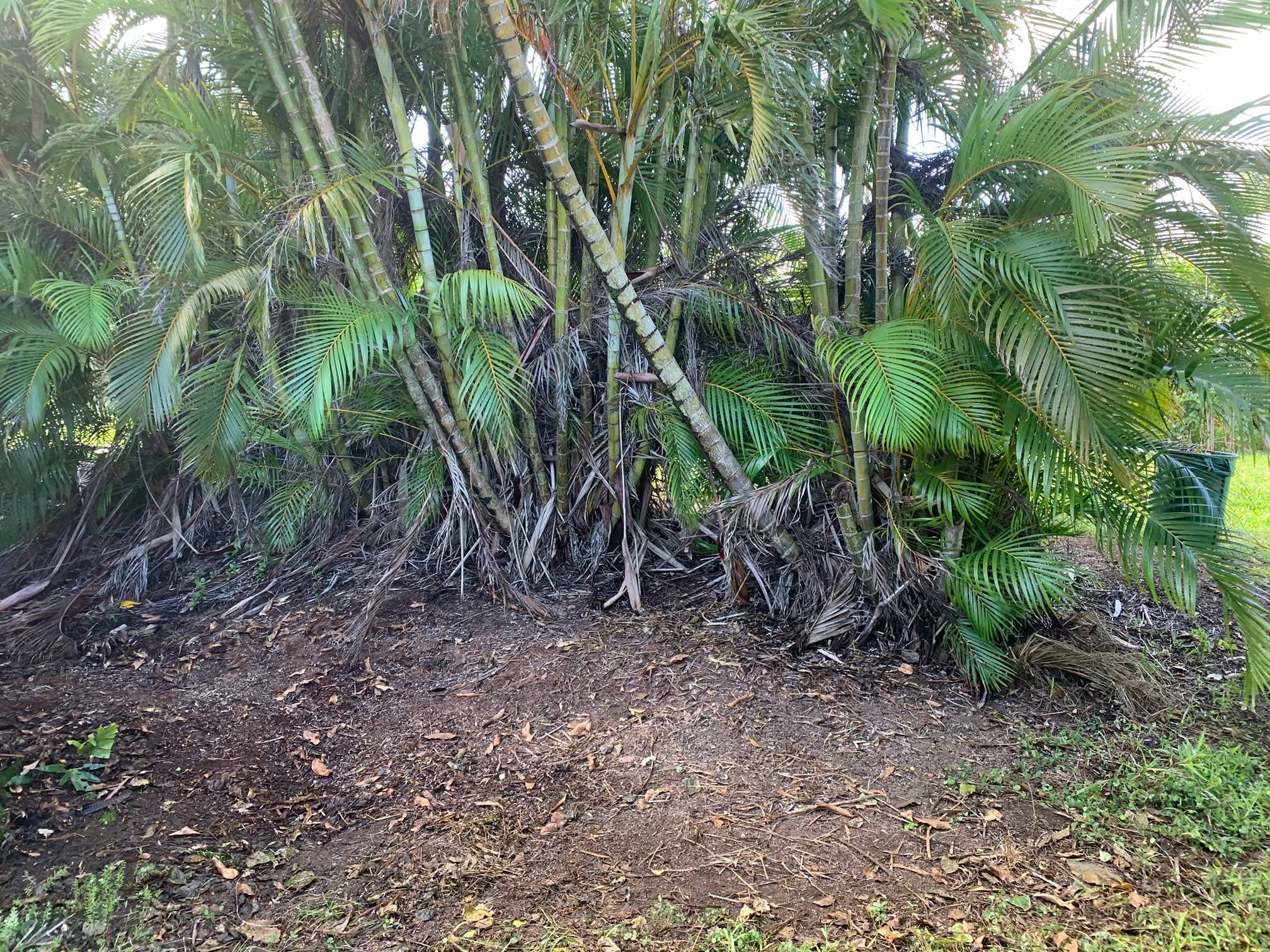 Maui Palm Frond Pruning Removal